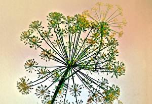 Фото Укроп Растения Крупным планом Еда