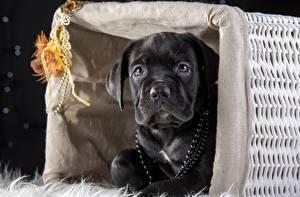 Обои Собаки Черный Кане корсо Корзинка Животные фото