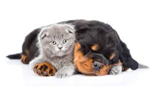 Фотографии Собаки Коты Ротвейлер Белый фон Двое Щенок Котята Спят животное