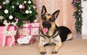 Собаки Немецкая овчарка Новый год Язык (анатомия) Лапы Животные