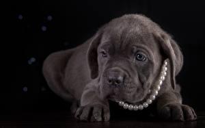 Собаки Жемчуг Щенок Кане корсо Лапы Черный фон Животные