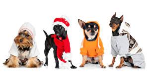 Обои для рабочего стола Собака Пинчер Одежда Белый фон Чихуахуа Йоркширский терьер Униформе Шапка Животное Животные