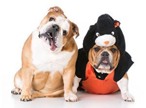 Собаки Белый фон Двое Бульдог Униформа Животные