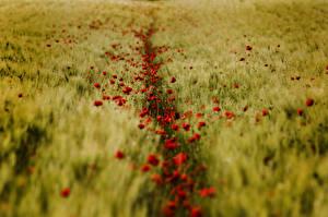 Обои Поля Маки Пшеница Природа
