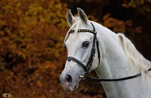 Обои Лошади Голова Белый (с) OliverSeitz Животные фото