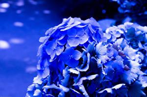 Обои Гортензия Крупным планом Синий Цветы фото