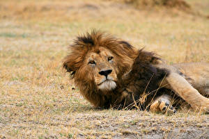 Картинка Львы