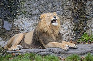 Обои Львы Клыки ©Tambako The Jaguar Лапы Животные