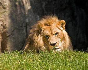 Обои Львы Трава Животные фото
