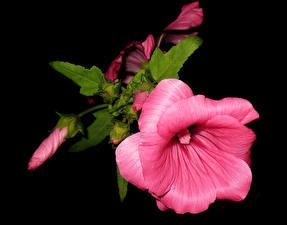 Картинки Мальва Крупным планом Черный фон Розовый Бутон Цветы