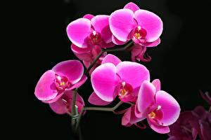 Обои Орхидеи Крупным планом Черный фон Цветы фото