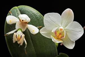 Обои Орхидеи Крупным планом Богомолы Цветы фото