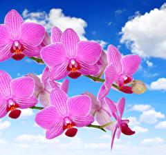 Фотографии Орхидеи Крупным планом Небо Розовый Цветы