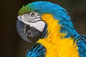 Фото Попугаи Ара (род) Птицы Крупным планом Клюв Голова Животные