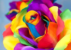 Фотография Розы Крупным планом Макросъёмка Разноцветные цветок
