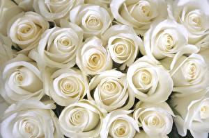 Обои Розы Крупным планом Белый Цветы