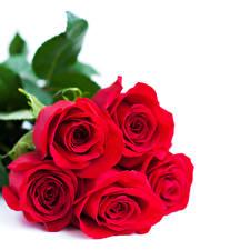 Обои Розы Крупным планом Белый фон Красный Цветы