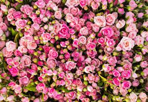 Обои Розы Много Розовый Цветы фото