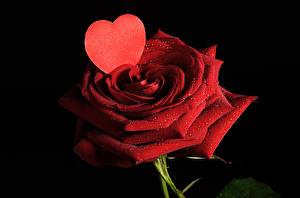 Фотографии Розы День всех влюблённых Красная Серце Черный фон Капли цветок