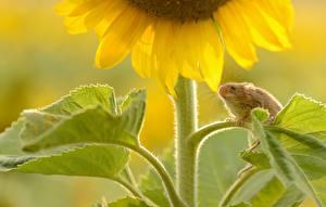 Картинка Подсолнухи Мыши Листья Цветы