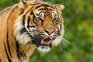 Обои Тигры Клыки Суматранский тигр Морда Взгляд Животные фото