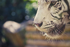 Фото Тигры Крупным планом Морда Усы Вибриссы Белый Животные