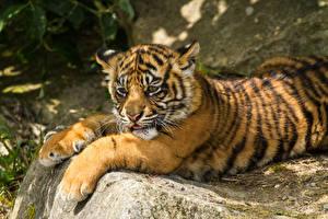Обои Тигры Детеныши Суматранский тигр Лапы Животные фото