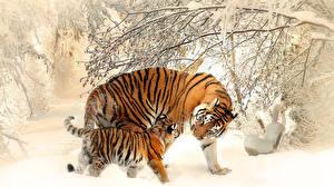 Обои Тигры Детеныши Зима Двое Животные фото