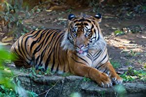 Обои Тигры Суматранский тигр Лапы Животные фото