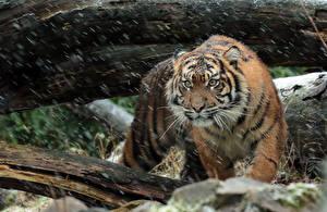 Обои Тигры Суматранский тигр Снежинки Животные фото