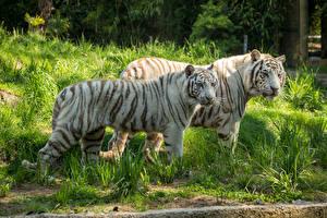 Обои Тигры Двое Белый Трава Животные фото