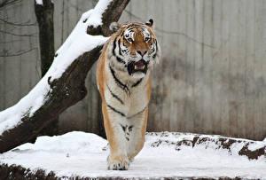 Обои Тигры Амурский тигр Животные фото