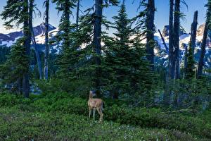 Фотографии Штаты Парк Вашингтон Ели Трава Деревьев Mount Rainier National Park Природа