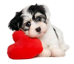 Обои День святого Валентина Собаки Белый фон Щенок Сердце Взгляд Животные фото
