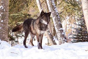 Обои Волки Зима Снег Животные фото