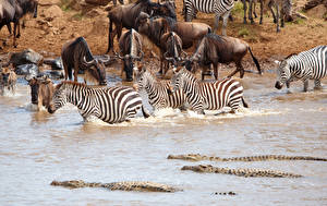 Обои Зебры Вода Крокодилы Животные картинки