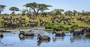 Обои Зебры Вода Много Животные картинки