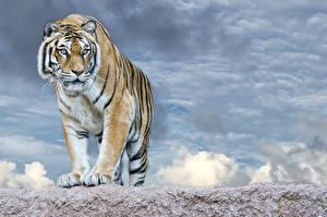 Обои Большие кошки Тигры Взгляд Животные фото