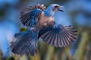 Обои Птицы Полет Крылья Florida scrub jay Животные фото