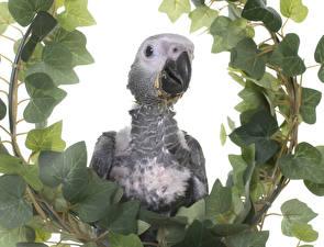 Картинки Птицы Попугаи Белом фоне Клюв Ветка Листья животное