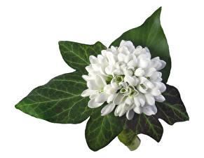 Фото Букеты Подснежники Белым фоном Листва цветок