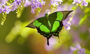 Картинка Бабочки Крупным планом Papilio palinurus