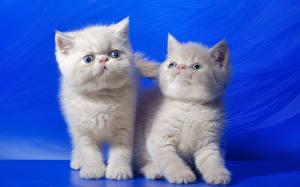 Фотографии Кошка Котенка Двое Пушистые Белый Цветной фон животное