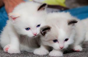 Картинки Кошка Котенок Двое Белых Животные