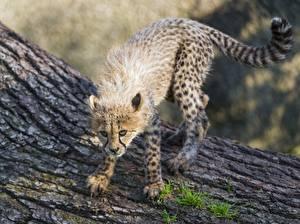 Картинки Гепарды Детеныши Взгляд Животные