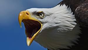 Фотография Крупным планом Ястреб Клюв Голова Белоголовый орлан Животные