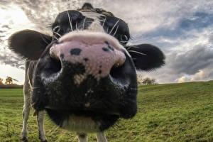 Фотографии Корова Вблизи Макросъёмка Нос Морда Животные