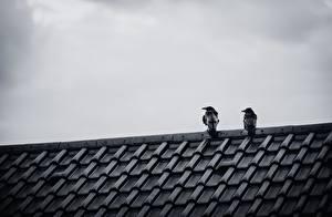 Фото Вороны Птицы Крыша Двое Животные