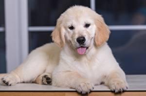 Картинки Собаки Золотистый ретривер Щенка Лапы Белый Животные