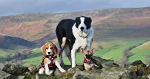 Собаки Камни Трое 3 Чихуахуа Бигль Бордер-колли Животные